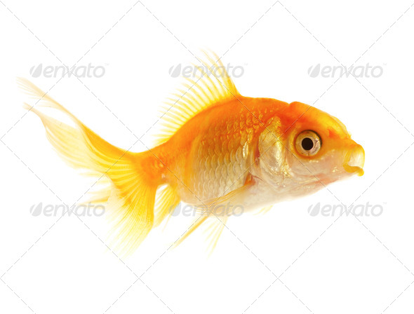 Gold small fish - Stock Photo - Images