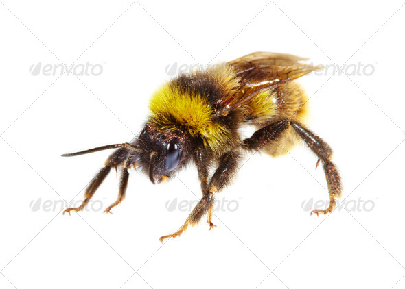 bumblebee - Stock Photo - Images