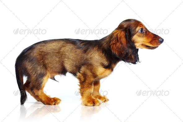 puppy dachshund - Stock Photo - Images
