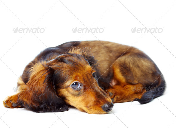 puppy dachshund - Stock Photo - Images