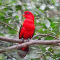 Red Lorikeet