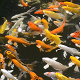 Swimming Colorful Carps - VideoHive Item for Sale