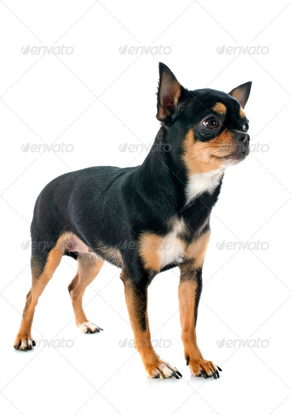 chihuahua - Stock Photo - Images