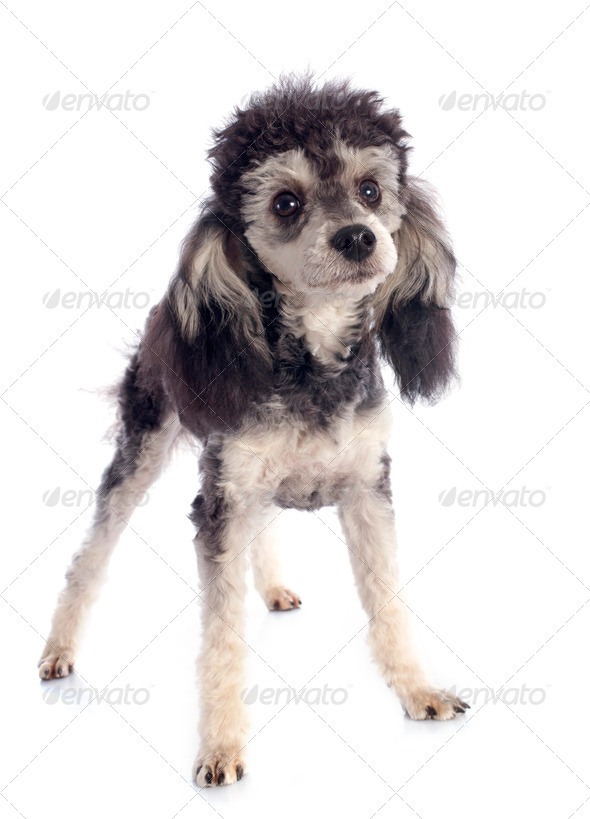 bicolor poodle - Stock Photo - Images