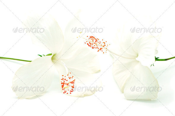 white Hibiscus - Stock Photo - Images