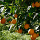 Oranges Hanging In Tree  - VideoHive Item for Sale
