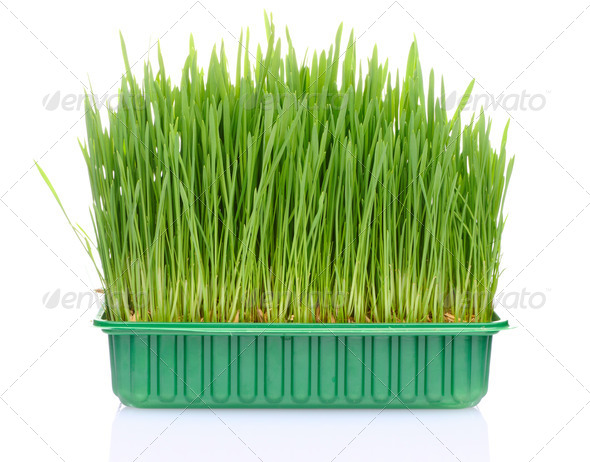 Grass in pot - Stock Photo - Images