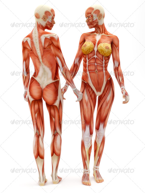 Female musculoskeletal system - Stock Photo - Images