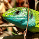 Green Lizard - VideoHive Item for Sale