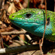 Green Lizard Head - VideoHive Item for Sale