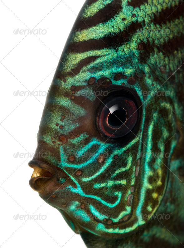 Close-up of a Blue snakeskin discus' head, Symphysodon aequifasciatus, isolated on white - Stock Photo - Images