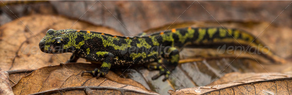 Marbled newt on an autumn leaf, Triturus marmoratus - Stock Photo - Images
