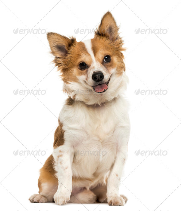 Front view of a Chihuahua sitting, panting with a cutted tongue, 7 months old, isolated on white - Stock Photo - Images