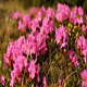 Mountain Roses - VideoHive Item for Sale