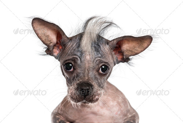 Close-up of a Chinese crested dog looking at the camera, isolated on white - Stock Photo - Images