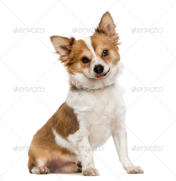Chihuahua sitting, sticking the tongue out, 7 months old, isolated on white - Stock Photo - Images