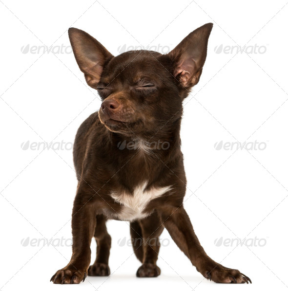 Chihuahua standing, eyes closed, 9 months old, isolated on white - Stock Photo - Images