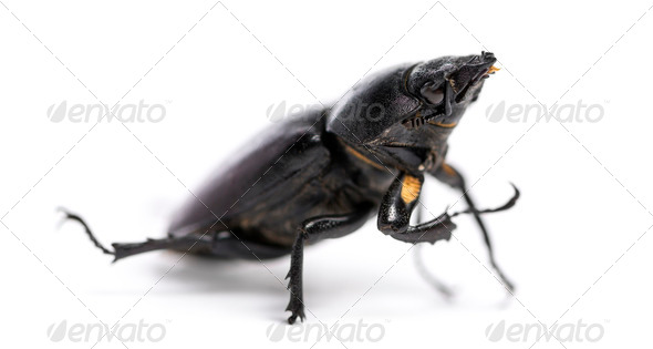 Dead Stag Beetle, Lucanus cervus, isolated on white - Stock Photo - Images