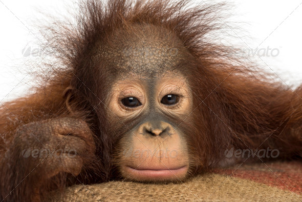 Close-up of a young Bornean orangutan looking tired, looking at the camera, 18 months old - Stock Photo - Images