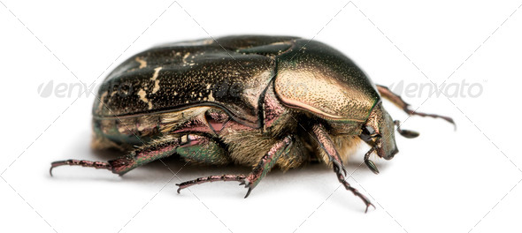 Side view of a Rose chafer, Cetonia aurata, isolated on white - Stock Photo - Images