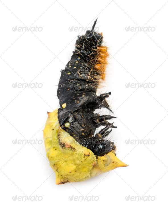 Dead caterpillar while transforming in chrysalid, isolated on white - Stock Photo - Images
