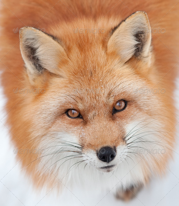 Young Red Fox Looking up at the Camera - Stock Photo - Images