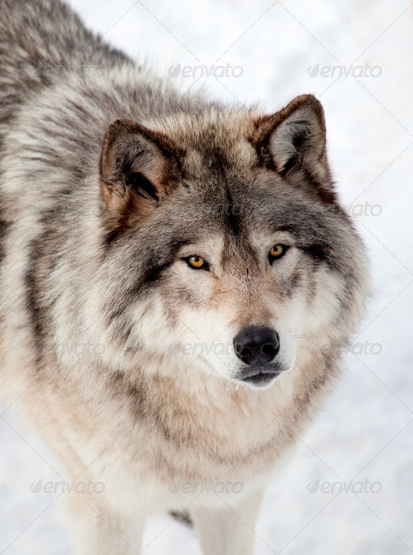 Gray Wolf in the Snow Looking up at the Camera - Stock Photo - Images