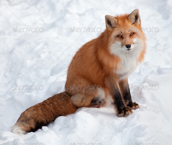Young Red Fox in the Snow Looking at the Camera - Stock Photo - Images