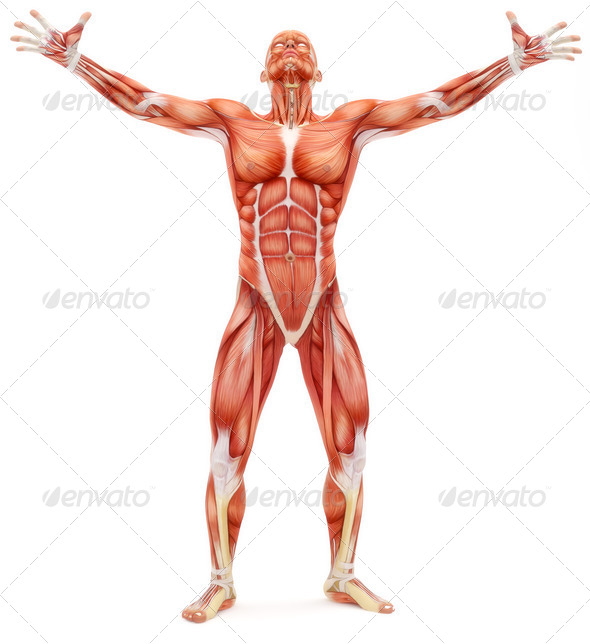 Male musculoskeletal system looking upward - Stock Photo - Images