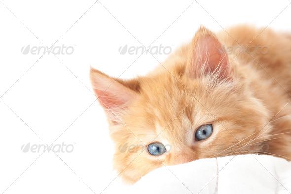 blue-eyed kitten - Stock Photo - Images