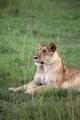 Lion - Maasai Mara Reserve - Kenya