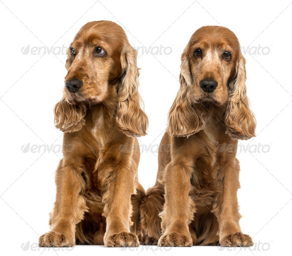 Two English Cocker Spaniels sitting - Stock Photo - Images