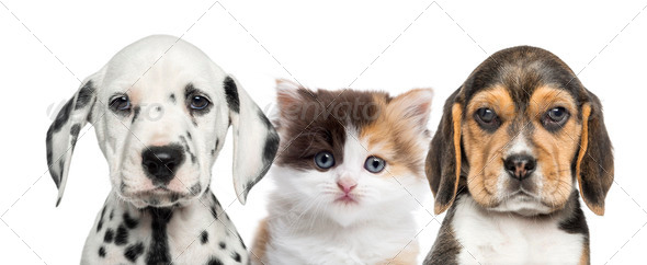 Close-up of a kitten between two puppies looking at the camera - Stock Photo - Images