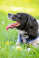spaniel and ball