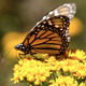 Monarch Butterfly - VideoHive Item for Sale