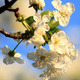 Cherry Tree Flowers - VideoHive Item for Sale