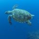 Hawksbill Sea Turtle Swimming Underwater - VideoHive Item for Sale