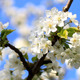 Cherry Flower - VideoHive Item for Sale