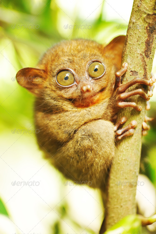 Tarsier - Stock Photo - Images