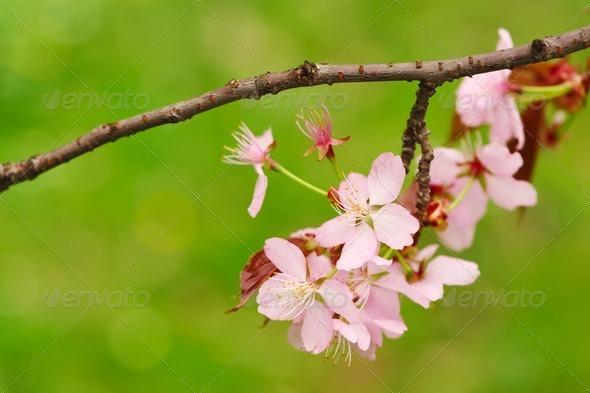 Spring sakura - Stock Photo - Images