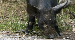 Wild Boar or Wild Pigs (Sus scrofa)