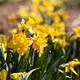 Daffodil Flowers - PhotoDune Item for Sale