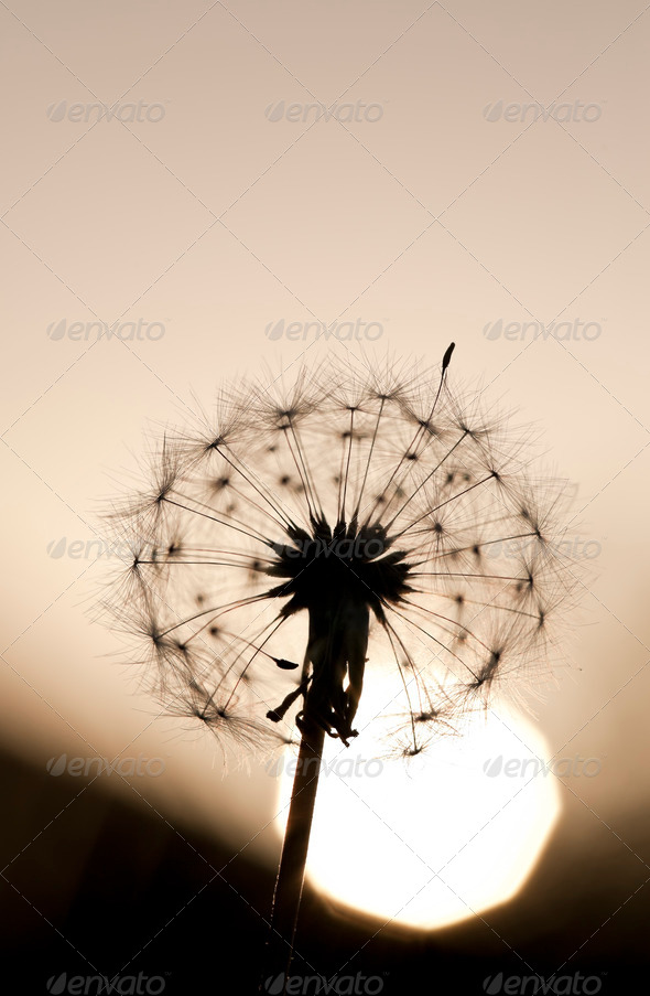 Dandelion Against Setting Sun - Stock Photo - Images
