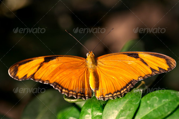 Julia Butterfly - Stock Photo - Images