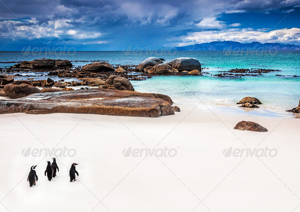 Wild South African penguins - Stock Photo - Images