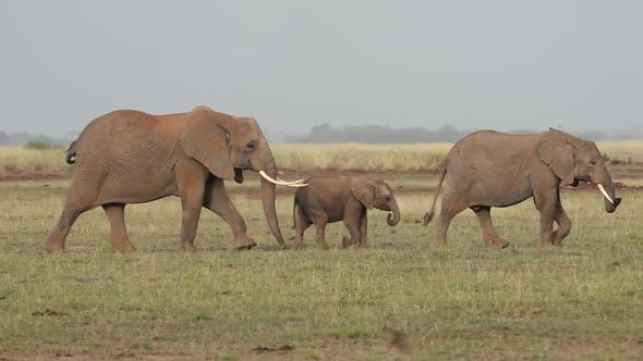 elephants walking in line by wildlifestock videohive