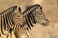 Plains Zebras portrait