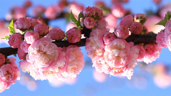 Blossom pink sakura flowers by labrador videohive play preview video mightylinksfo