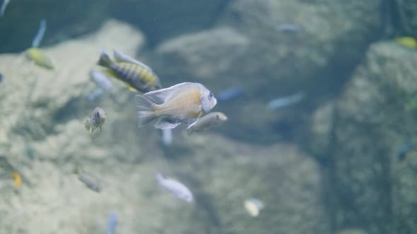Fish Swimming In Decorative Undersea World In Oceanarium By Milkmanwest