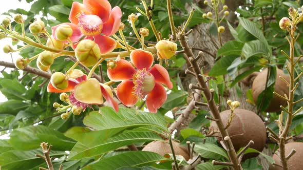 Exotic Flowers And Tree Dangerous Large Powerful Green Tropical Tree Cannonball Salalanga Blooming